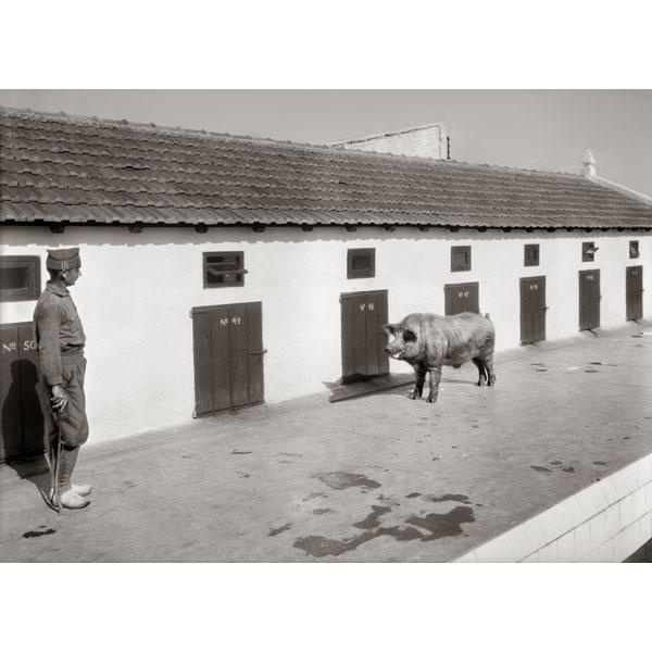 """Bartolomé Ros. """"Granja porcina del Cuartel de la Legión de Dar Riffien"""""""